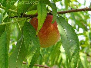 garden grown peaches